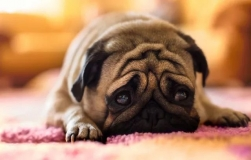 狗也会得抑郁症,这些容易被误诊的几种表现,出现就得重视了
